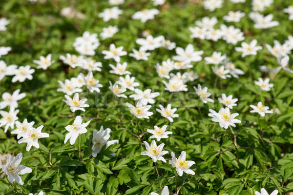 Wood anemone Stock photo © Arrxxx