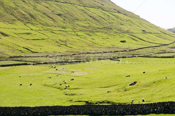 Landschap eilanden typisch groen gras bergen schapen Stockfoto © Arrxxx