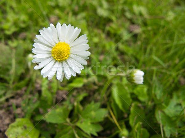 Daisy bloem gelukkig zon zomer Stockfoto © Arrxxx
