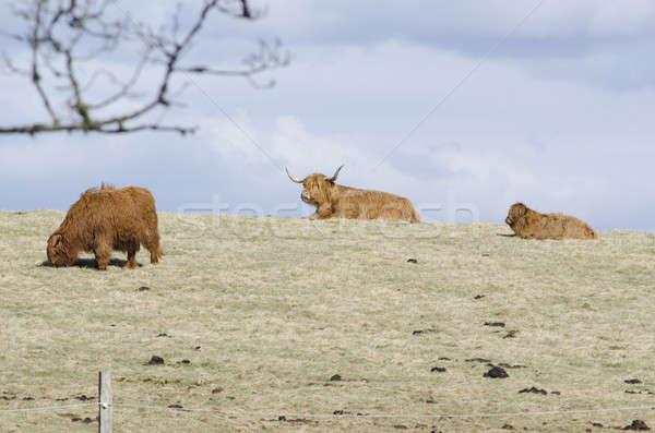 Highland cattle Stock photo © Arrxxx