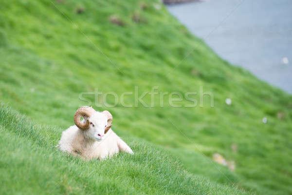 Koyun koç deniz yeşil ot kayalar Stok fotoğraf © Arrxxx