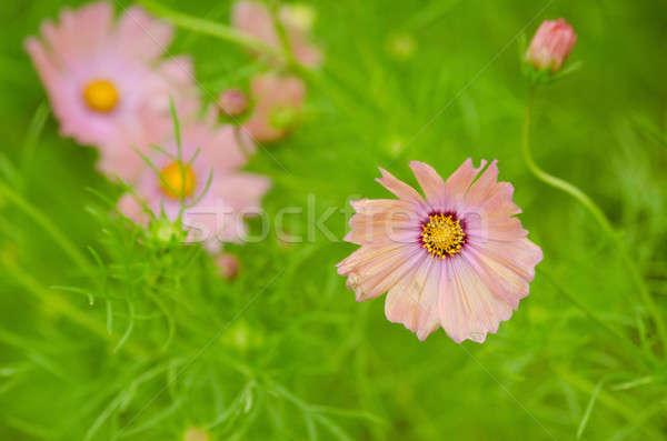 Pink cosmos flowers Stock photo © Arrxxx