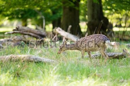 Kadın geyik bakıyor ayakta orman kamera Stok fotoğraf © Arrxxx