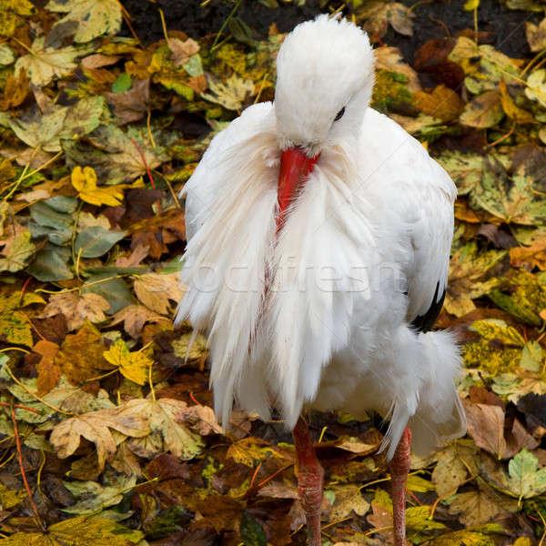 White stork, Ciconia ciconia Stock photo © Arrxxx