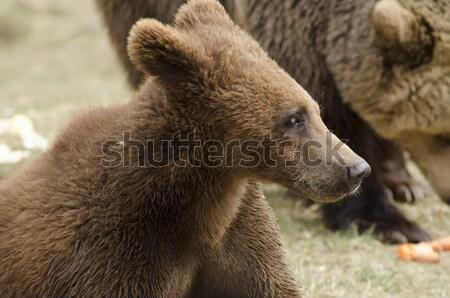 Jonge bruine beer naar kant alleen sterke Stockfoto © Arrxxx