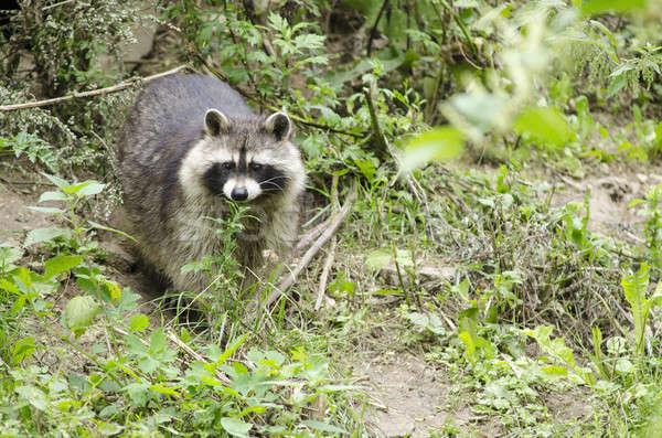 Raccoon walking through a green meadow Stock photo © Arrxxx