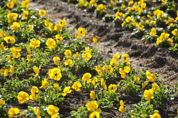 Geel veld park zon bloem Stockfoto © Arrxxx