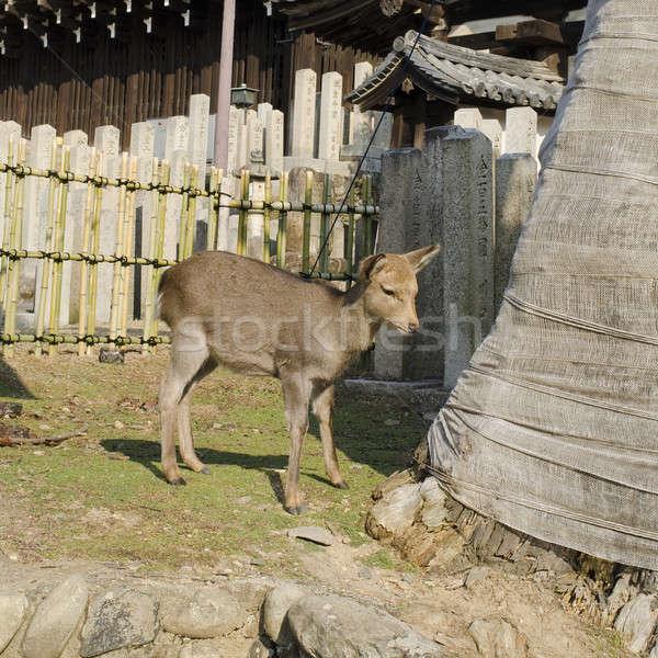 Female Sika Deer Stock photo © Arrxxx