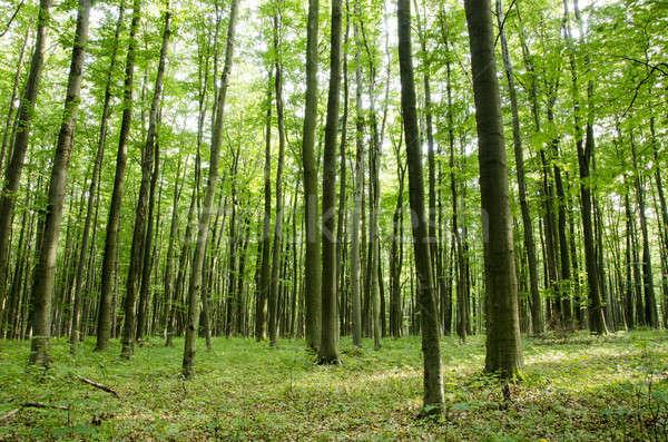 Beech forest in summer Stock photo © Arrxxx