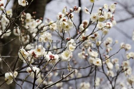 Ameixa flores flores brancas árvore primavera páscoa Foto stock © Arrxxx