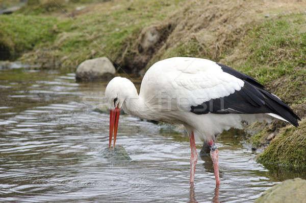 Fehér gólya tó korai tavasz étel Stock fotó © Arrxxx