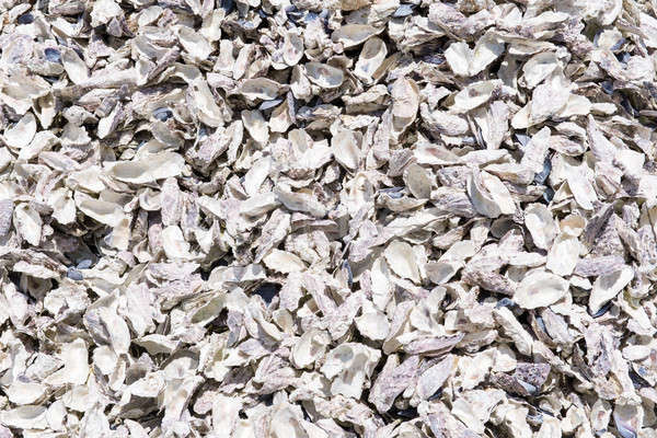 Oyster shell background Stock photo © Arrxxx