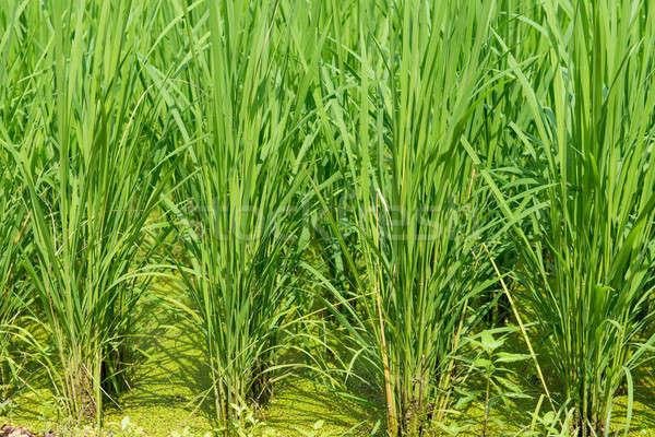 Groene rijstveld jonge rijst planten voedsel Stockfoto © Arrxxx
