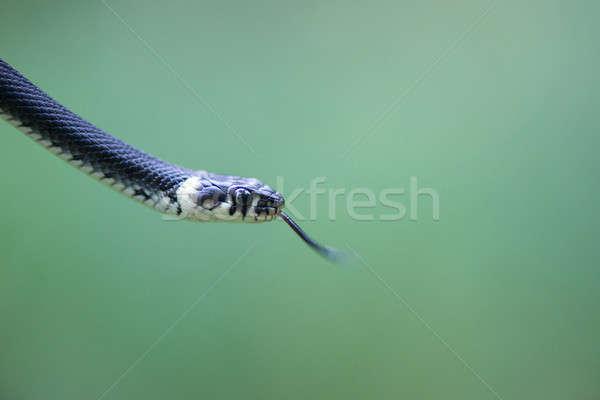 Hoofd slang gras natuur tong macro Stockfoto © Arrxxx