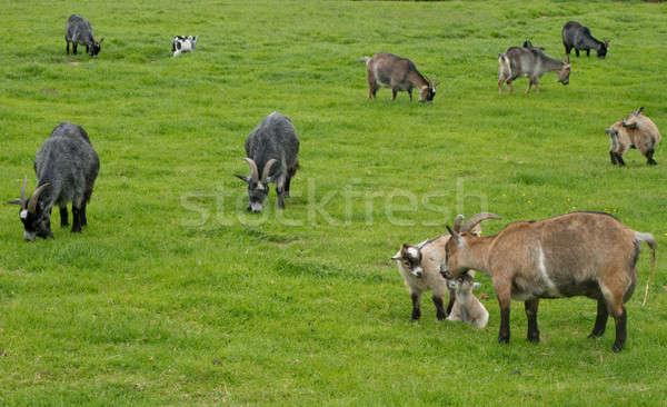 Goats grazing on a meadow Stock photo © Arrxxx