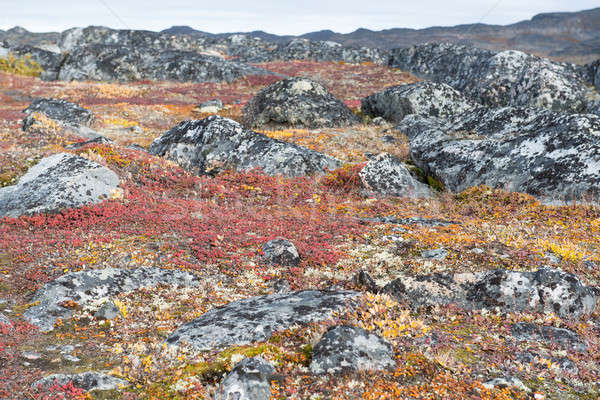 Lichen and tundra vegetation Stock photo © Arrxxx
