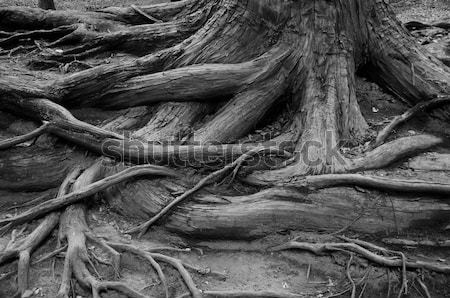 Tree roots Stock photo © Arrxxx