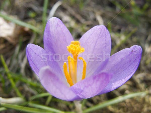 Krokus voorjaar scène park mooie bloemen Stockfoto © Arrxxx