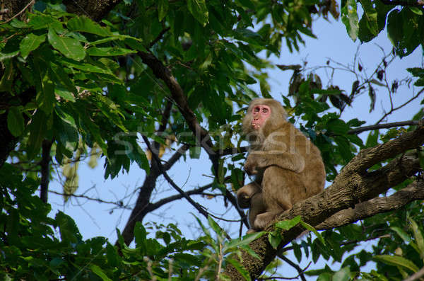 Japanese macaque sitting on a tree Stock photo © Arrxxx