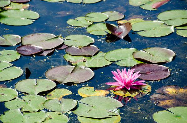 Nymphaea flower Stock photo © Arrxxx