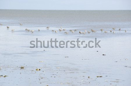 Wadden sea at low tide Stock photo © Arrxxx