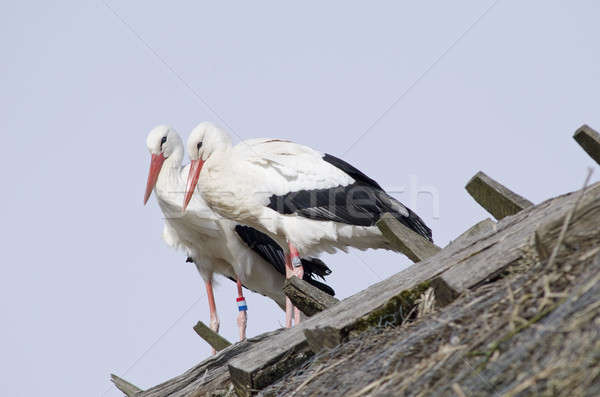 White storks on a roof (Ciconia ciconia) Stock photo © Arrxxx