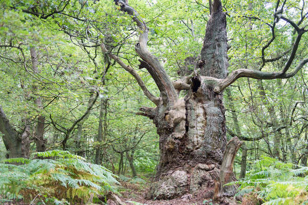 Photo stock: Grand · vieux · chêne · île · arbre · nature