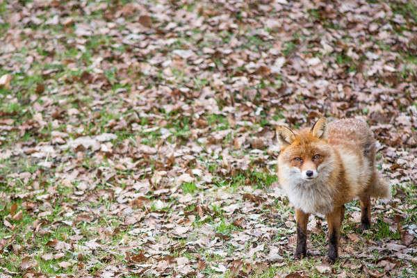 Rood vos permanente naar camera voorjaar Stockfoto © Arrxxx
