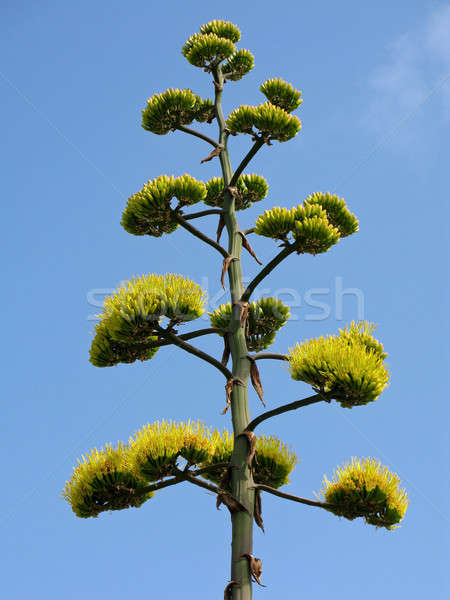 Foto stock: Agave · flores · abaixo · azul · flor · verde