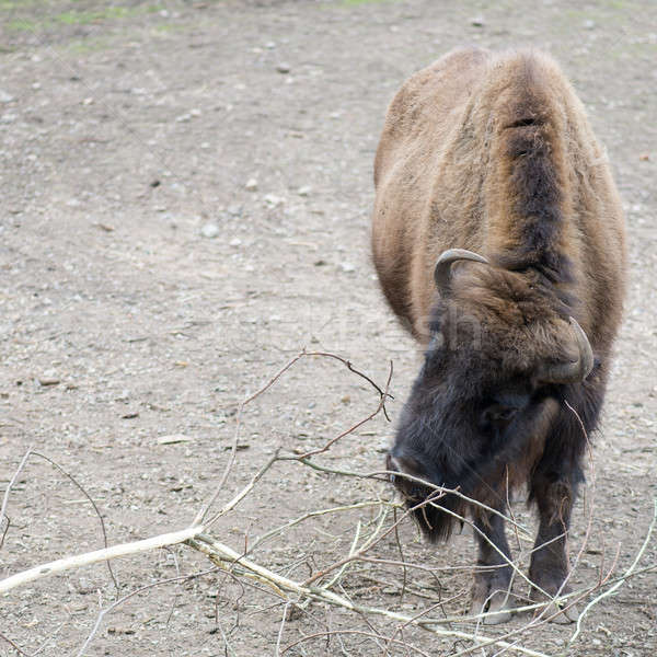 Europese bizon eten hoofd dier Stockfoto © Arrxxx