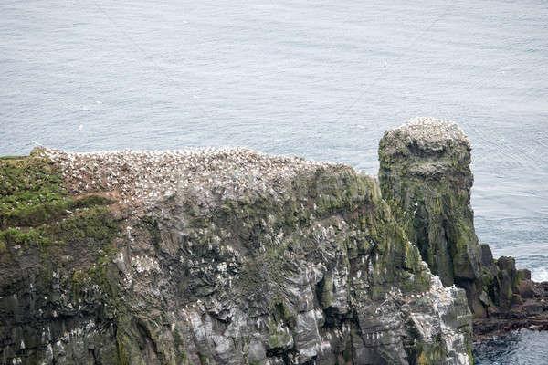колония пару птица рок Перу Сток-фото © Arrxxx