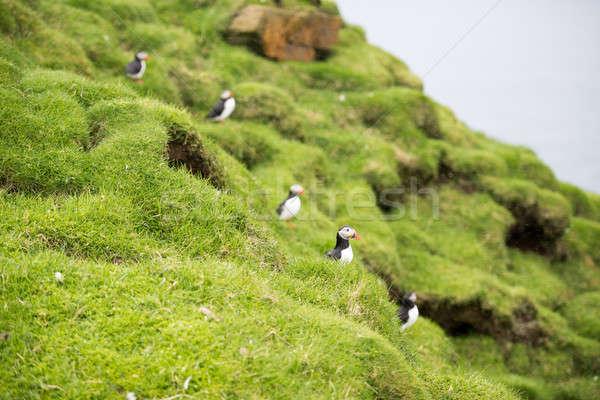 Atlantic puffins, Fratercula arctica in its colony Stock photo © Arrxxx