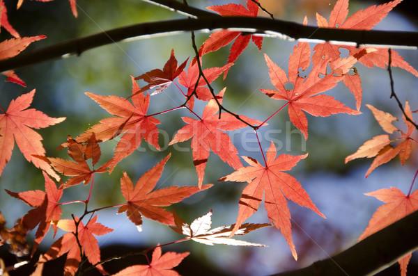 Zdjęcia stock: Kolorowy · oddziału · żółty · czerwony · pozostawia