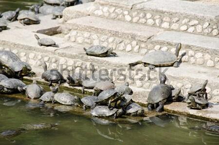 Schildpadden trap tempel vijver natuur shell Stockfoto © Arrxxx
