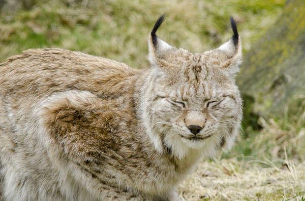 Eurasian lynx, Lynx lynx Stock photo © Arrxxx