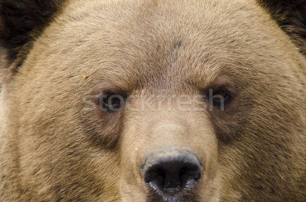 Yüz portre ayı burun gözler Stok fotoğraf © Arrxxx