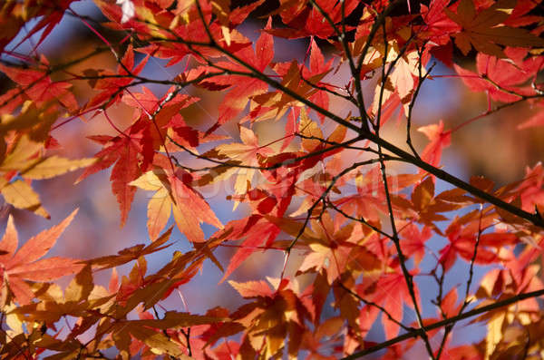 Colorful autumn leaves background Stock photo © Arrxxx