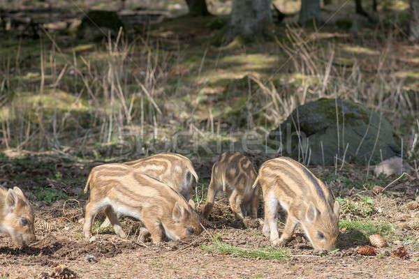 Vad vaddisznó disznó keres étel erdő Stock fotó © Arrxxx