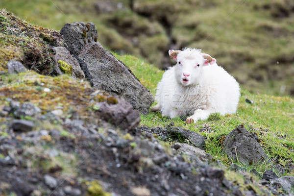 Sheep on the Faroe Islands Stock photo © Arrxxx