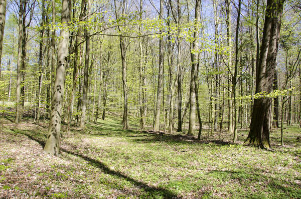 Bright beech forest in spring Stock photo © Arrxxx