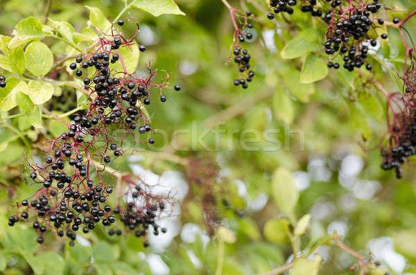 Galho maduro frutas mais velho verde preto Foto stock © Arrxxx