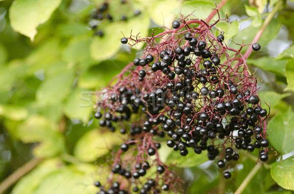 Twig of elderberry with ripe fruits Stock photo © Arrxxx