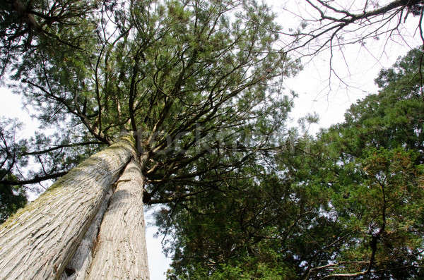 Tall pine tree seen from below Stock photo © Arrxxx