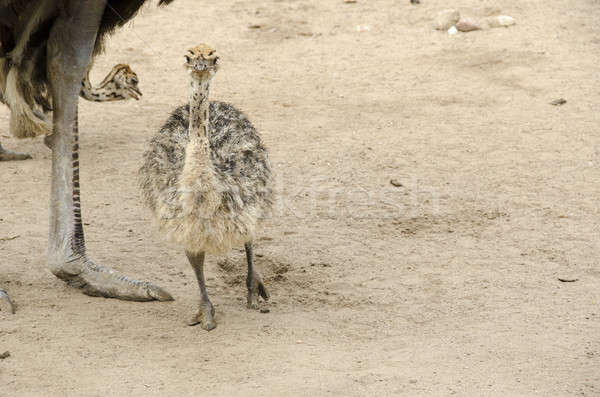 Small cute baby ostrich Stock photo © Arrxxx