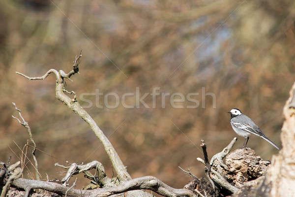Beyaz oturma ağaç bahar ahşap orman Stok fotoğraf © Arrxxx