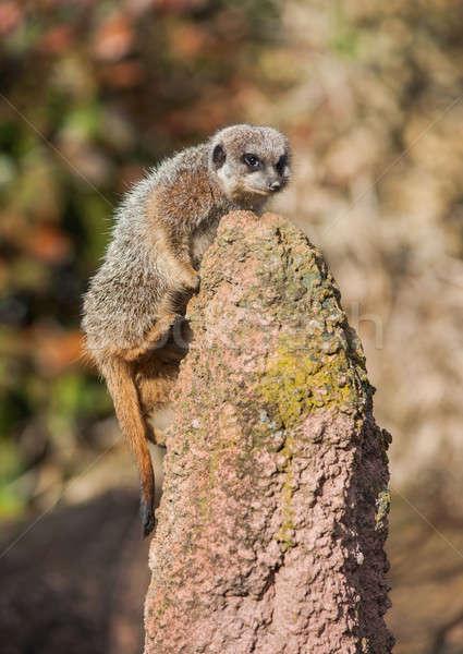 Meerkat climbing on the termitary Stock photo © Arsgera