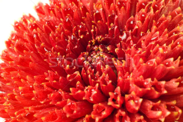 Summer time. Red dahlia bud isolated Stock photo © Arsgera