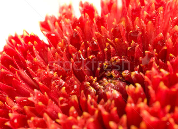 Red dahlia bud with drops Stock photo © Arsgera