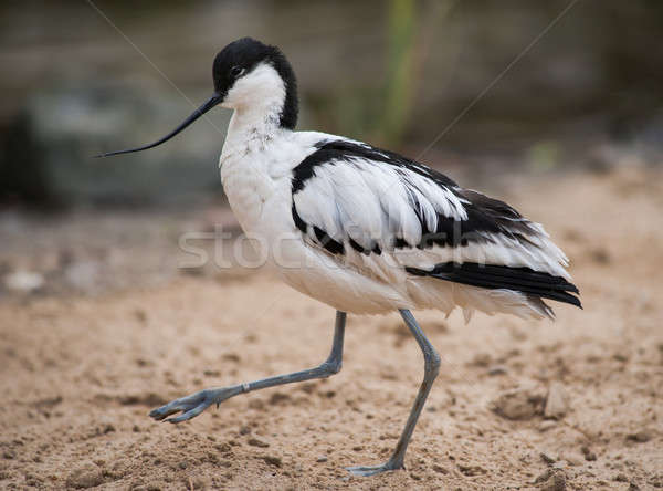Pied avocet: wader walking on sand Stock photo © Arsgera