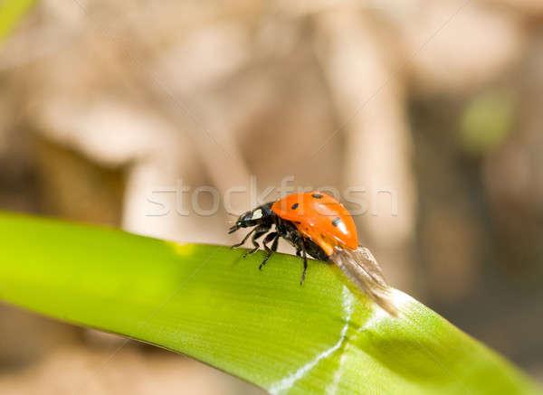 Joaninha grama primavera natureza projeto Foto stock © Arsgera
